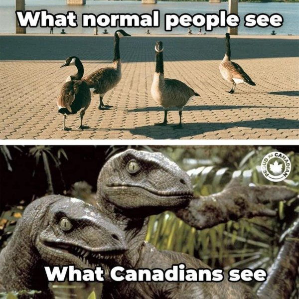 Canadian view of Canada Geese.jpg